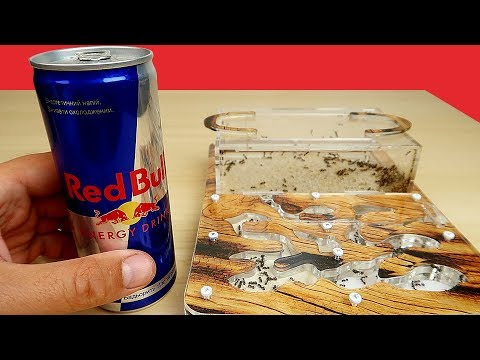Реакция Муравьев на Молоко, Пиво и RedBull. Alex Boyko. Что если дать муравьям пиво? (видео)