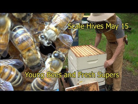 Emerging Bees And Adding First Supers - Scale Hives May 15