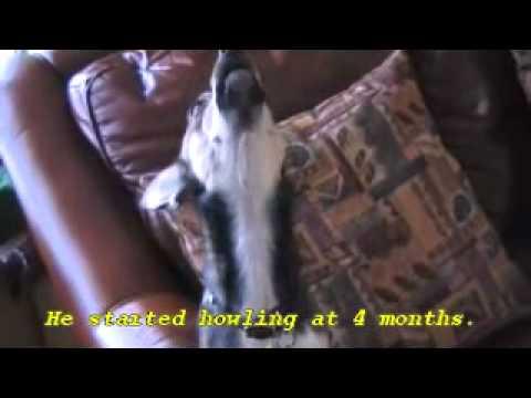 Howling Deer Head Chihuahua