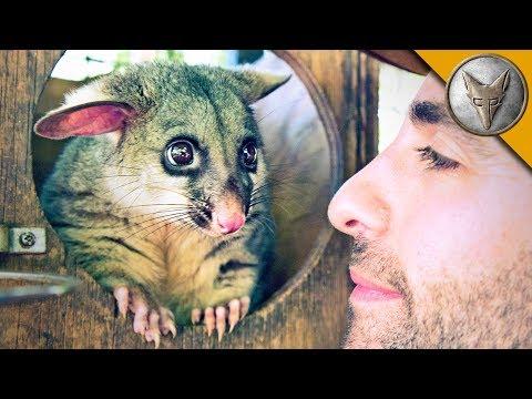World's Cutest Possum!