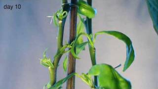 Lemon tree growing - Time lapsed