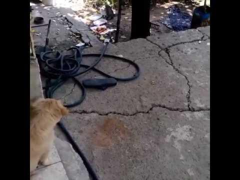 Kediden korkan tatlı (komik) köpek, Tarçın - VID 20150717 WA0004