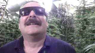 The AMAZING - WALL of BUD!!! by Urban Grower