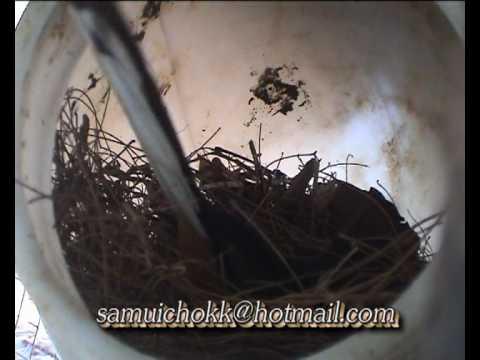 นกกางเขนดงสร้างรังCopsychus malabaricus.avi
