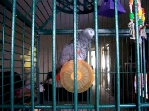 "My African Grey Parrot "" Joey "" sings Who Let the Dogs Out"