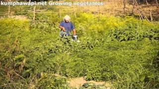 Kumphawapi Thailand  city images : Growing Vegetables, Kumphawapi, Thailand