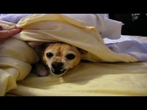 il-chihuahua-che-non-vuole-alzarsi-dal-letto-324