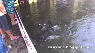 Catfish And Flood  At Nontaburi Pier North Of Bangkok