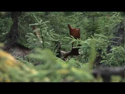 La chasse à l'orignal à Matane
