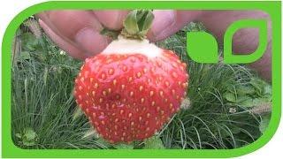 Die Erdbeeren und Erdbeerfreundinnen im Küchengarten auf Schloss Ippenburg