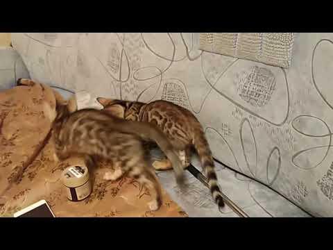 Продам бенгальского котёнка
