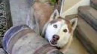Amazing Talking Dog - Tubok - Siberian Husky Says