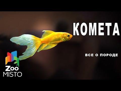 Комета - Все о породе рыбы