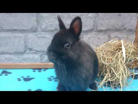 8 week old Black self Netherland Dwarf Doe Bunny Rabbit cute adorable