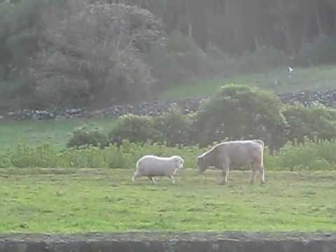 Sheep teaching young bull how to head butt