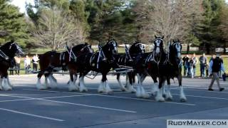 Merrimack (NH) United States  city photos gallery : The Budweiser Clydesdale Horses of Merrimack, New Hampshire
