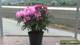 #1040 Rhododendron Hybride Graziella