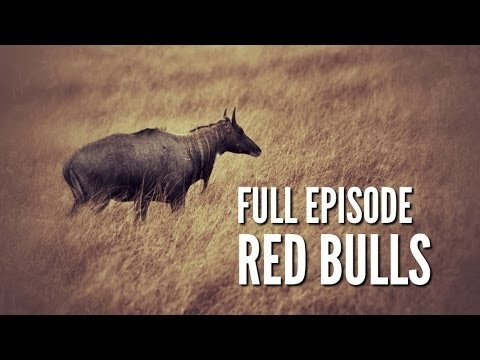 "South Texas Nilgai Hunting – ""Red Bulls"""