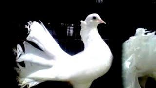 Merpati Kipas Hitam, Putih dan Jambul (Fancy-Crested Pigeons)