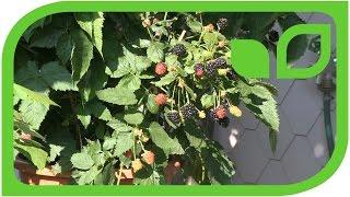 Lowberries Balkonbeeren auf Balkon und Terrasse