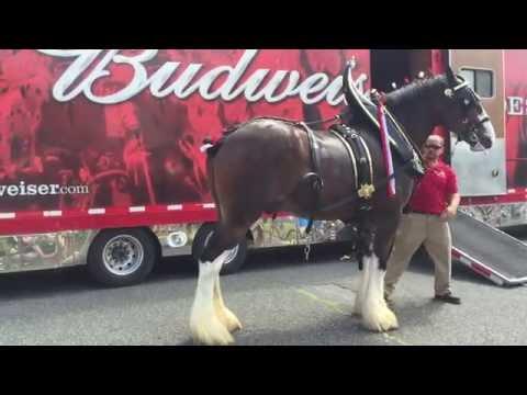 Kifogás nyolcasfogatból Budweiser módra