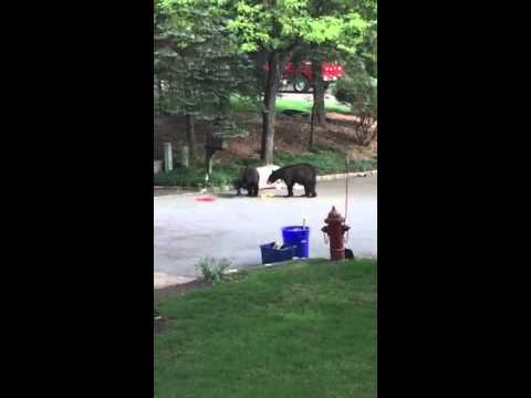 Tuča medveda zbog kante