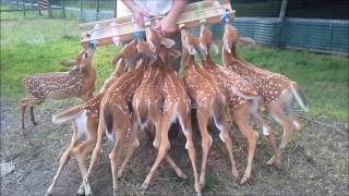 animale caprioarele la lapte