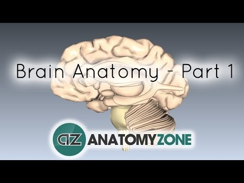 Basic Parts of the Brain - Part 1 - 3D Anatomy Tutorial