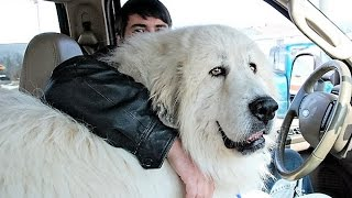 Video Biggest Dog Breeds MP3, 3GP, MP4, WEBM, AVI, FLV Juni 2019