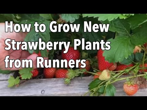 Fresh homegrown strawberries are a delicious taste of summer, but there are never enough! Fortunately, it's easy to make more - absolutely free. Strawberries produce long, leafless stalks called runners. These can be used to propagate new strawberry plants which are ready to begin cropping next season. In this short video we explain how to easy it is to make new strawberry plants from runners so you can have an even bigger and better strawberry harvest next year.