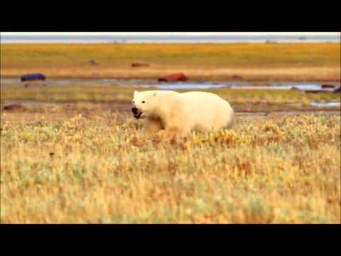 Polar Bears A Summer Odyssey 4 الملحمة الصيفية للدبب القطبية