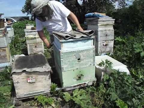 не допускаем выхода роя из семьи находящейся в роевом состоянии - роение под контролем пчеловода (видео)