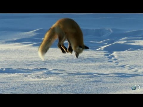 Watch as this fox dives headfirst into snow to find food