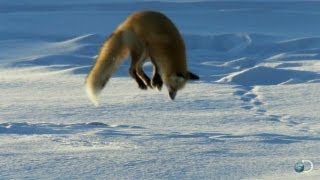 Fox Dives Headfirst Into Snow | North America