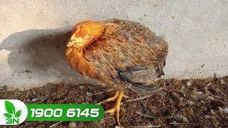 Chăn nuôi gà | Bệnh gà rù (hay Newcastle): Biểu hiện và cách chữa