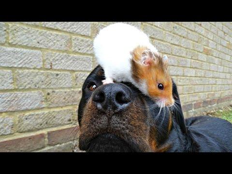 l'amore tenero fra un rottweiler e un porcellino d'india