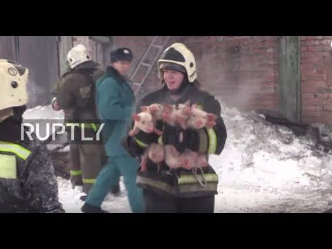 Venäjällä palomiehille tuli hieman poikkeava tehtävä – Joutuivat sikopaimeniksi