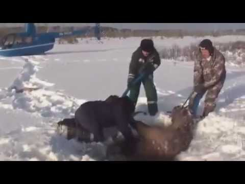 The Incredible Rescue of Elk - You simply MUST SEE it !!