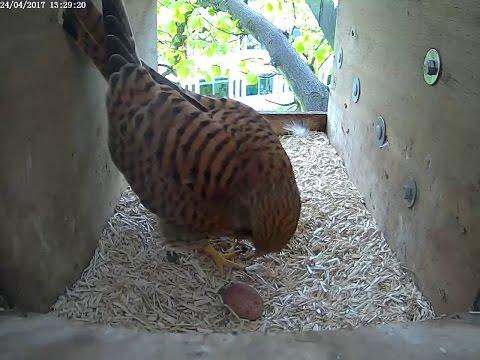 CEH Kestrel nest box (inside)
