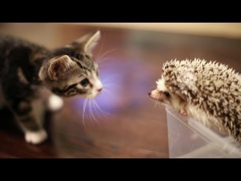 kitten - Open for all of the FAQ's and details! Our hedgehog Harley plays with our FRIEND'S (not ours!) kitten Loki. Make sure to share this video on facebook/twitter...