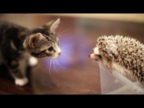 Katt möter igelkott