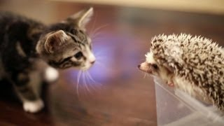 KITTEN MEETS HEDGEHOG - YouTube