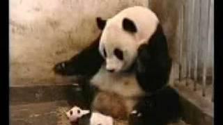 Paperissima Imperdibile Starnuto Del Panda Funny