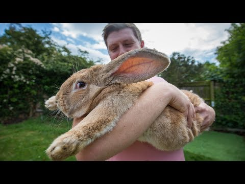 Raising the World's Biggest Bunny