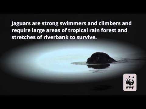 Rare Black Jaguar Swimming in the Amazon