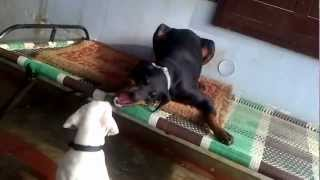 Rajapalayam India  City new picture : Funny Dog Fight - The Friendship of Doberman and Indian Rajapalayam dog