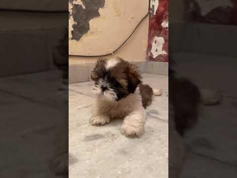 Cute Shihtzu – Bhola Shola