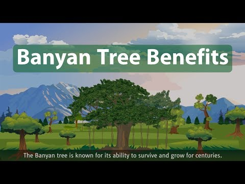 Banyan tree benefits! (Ficus benghalensis)