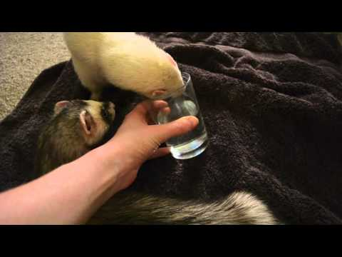 My Ferrets Cooper and Whisper Love Water