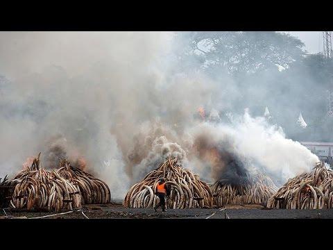 Κένυα: Συμβολικό κάψιμο 100 τόνων ελεφαντόδοντου- Μήνυμα κατά της λαθροθηρίας